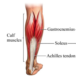 Anatomical diagram of calf muscles